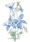 Columbine Rocky Mountain Blue Seeds
