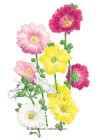 Hollyhock Indian Spring HEIRLOOM Seeds