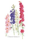 Larkspur Sublime Blend Seeds
