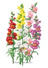 Snapdragon Tall Maximum Blend HEIRLOOM Seeds