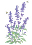 Salvia Blue Victoria Seeds