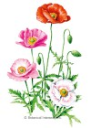Poppy Shirley Single Blend HEIRLOOM Seeds