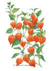 Chinese Lantern HEIRLOOM Seeds