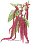 Love-Lies-Bleeding HEIRLOOM Seeds