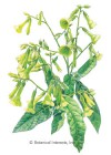 Nicotiana Langsdorff's Tobacco HEIRLOOM Seeds