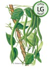 Bean Pole Blue Lake FM-1K HEIRLOOM Seeds (LG)